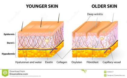 skin-aging-visual-representation-changes-over-lifetime-collagen-elastin-form-structure-dermis-making-tight-34993417