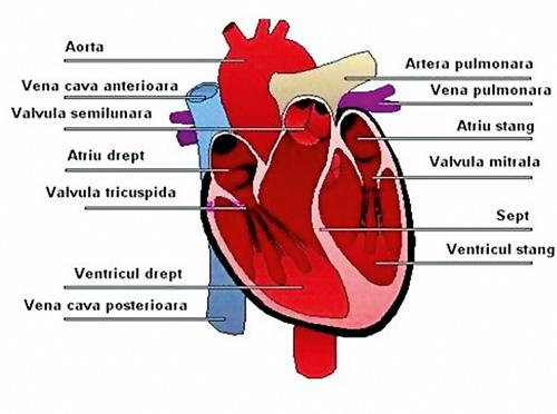 Remedii naturiste pentru inima